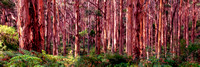 Boranup Forest Morning Panorama