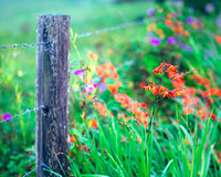 Wild Flowers and Fence